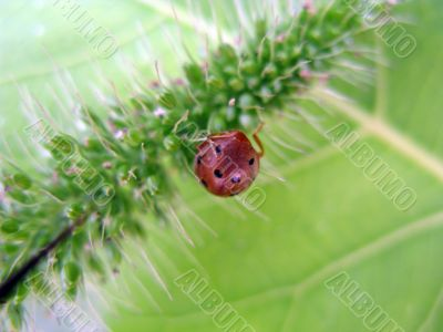 Ladybird Insect on a Leaf