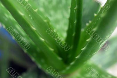 Aloe Vera Green Succulent Plant