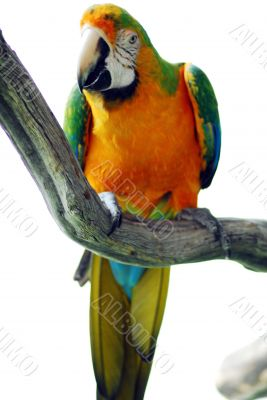 Macaw Bird Green and Yellow Color