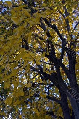 Ginkgo tree in Fall Season
