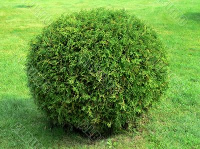 Cut bush in the form of a sphere