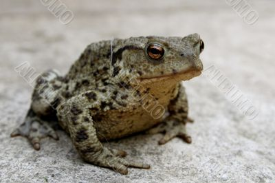 A toad on a patio