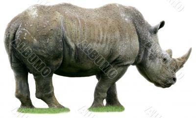 Isolated rhino on white background