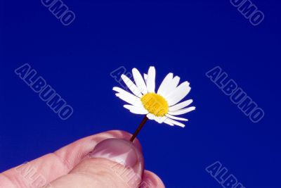 Camomile medicinal in hand