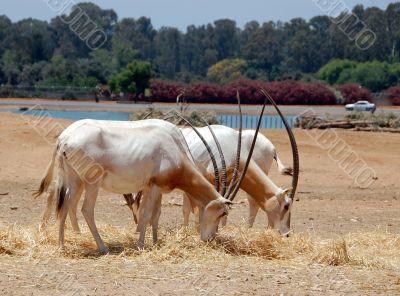 Antilopas