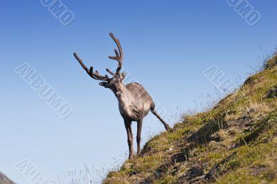 northern deer