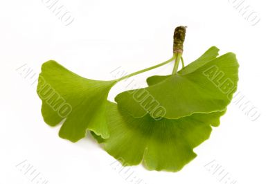 Three Ginkgo Leaves
