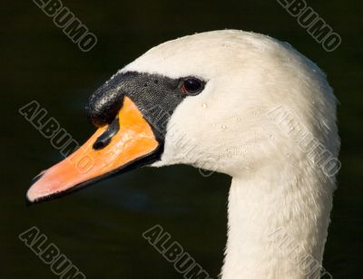 The head of the swan