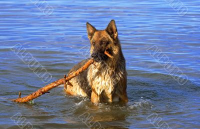 wet Germany sheep-dog with stick in a mouth