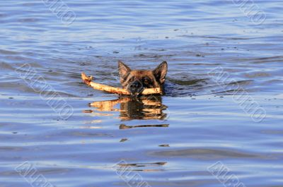 swiming Germany sheep-dog with stick in mouth