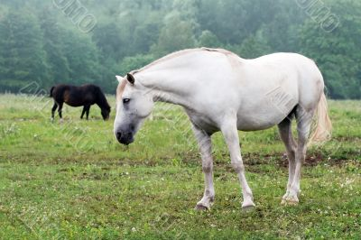 white horses on a field