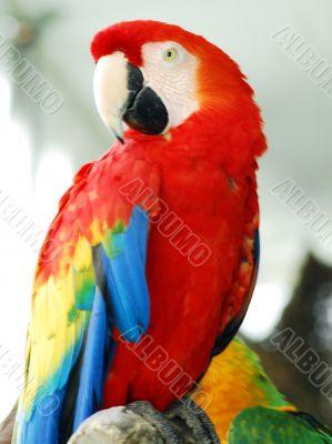 Scarlet Red Macaw Bird