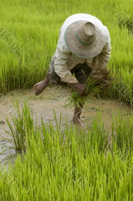 Work on the paddy-field in Asia