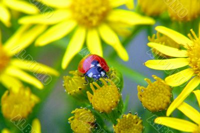 bright ladybird