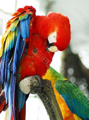 red macaw Isolated