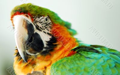 Macaw Bird Green and Yellow Color Head Closeup