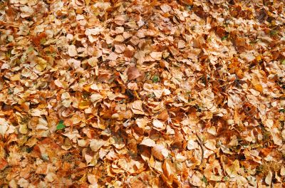 texture of autumn dry leaves