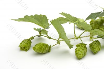 hop fruit