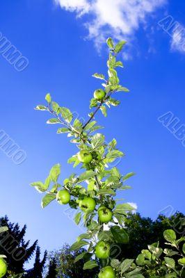 apple twig