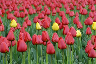 Field of variety tulips