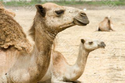 arabian camel in Israels desert