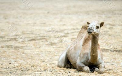 wild camel in Israels desert