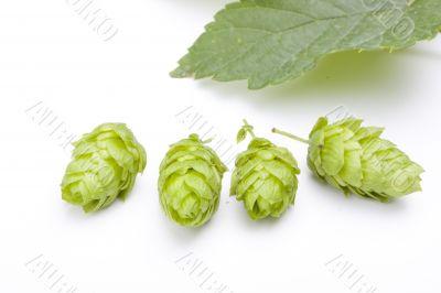 hop fruit