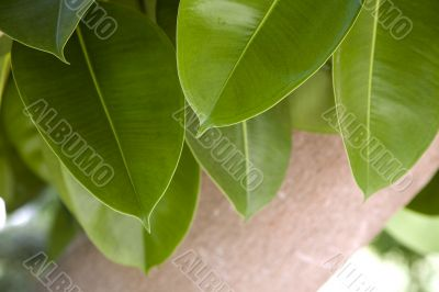 Green leaves and trunk of ficus elastica robusta