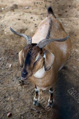 Goat - top view shot