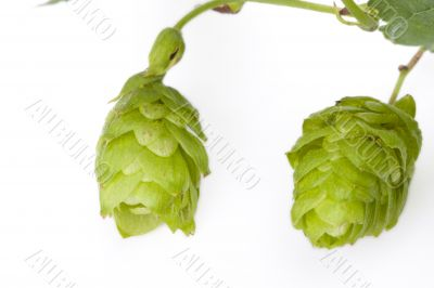 green hop fruit
