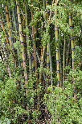Bamboo woods, Thailand