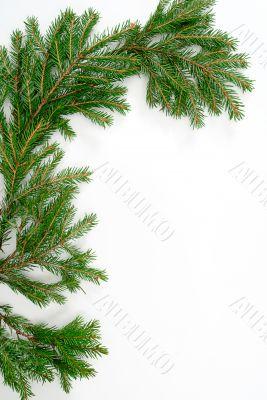 fir-tree  twig,