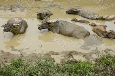 Water buffalo in the mud, Laos