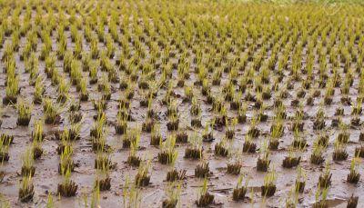 Rice culture field