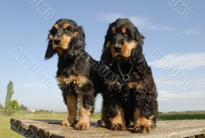 two puppies purebred english cockers