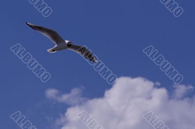 seagull in the sky with clouds