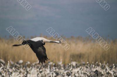 Migrate of birds
