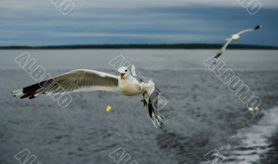 Hungry Gulls