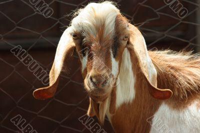 Lop-eared goat
