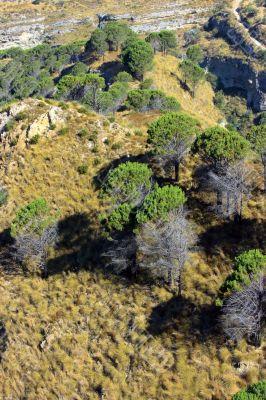 Pines of Aspromonte
