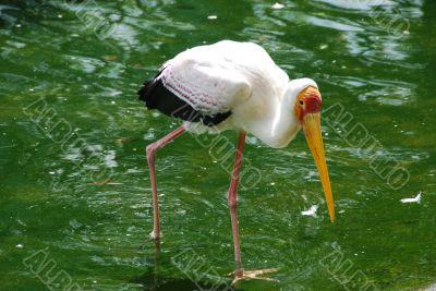 Painted Stork C