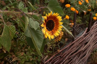 sunflower above the fence