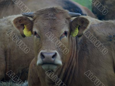 Brown Limousin Cow