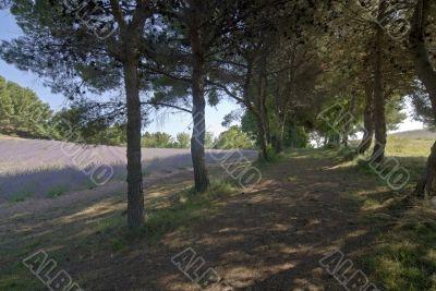 Conero (Marche, Italy) - Lavender and pines