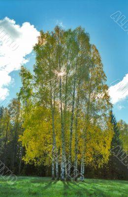 Autumn birches against Sun