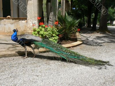 Peacock is taking a walk outdoors