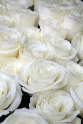 white-yellow roses