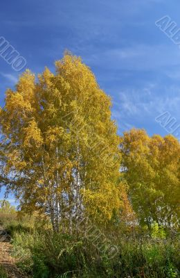 The dark blue sky and yellow trees in the autumn