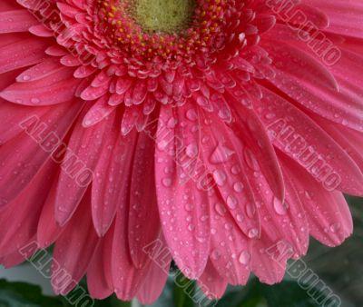 Wet Pink flower