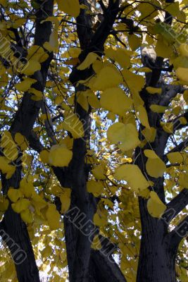 Yellow Ginkgo tree in Fall Season